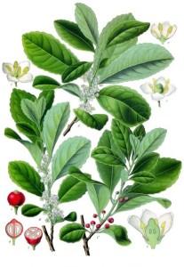 mate tee pflanze